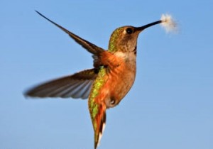 Humming Bird, Rufous Hummingbird, Selasphorous rufus